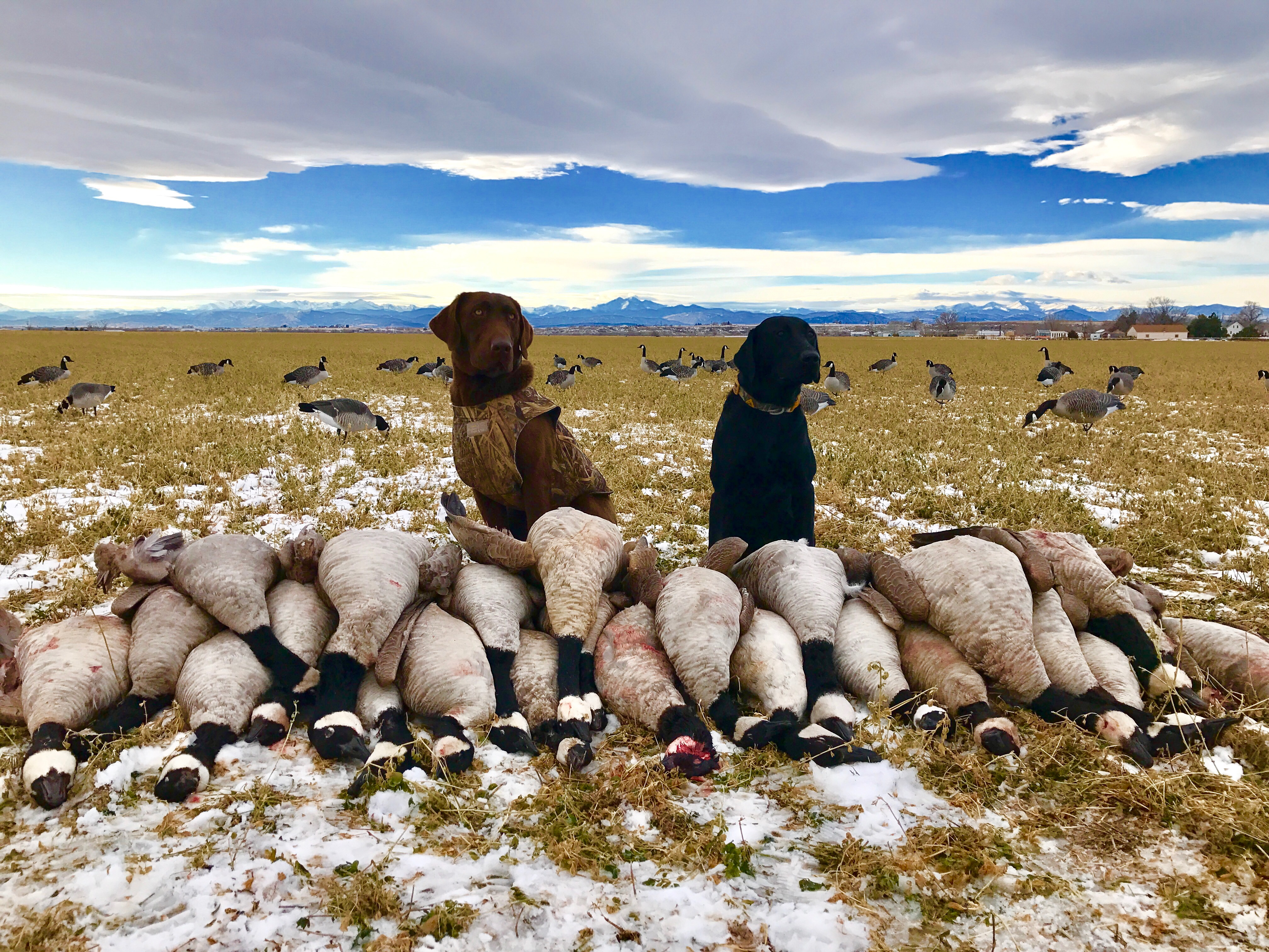 Colorado_Goose_Hunting_Dogs