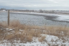 colorado-goose-hunting-at-its-finest