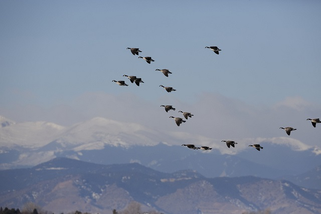 Sailing Geese Against Mountains
