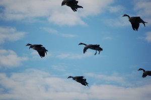 colorado goose hunting tips. Birds and Bucks outdoors