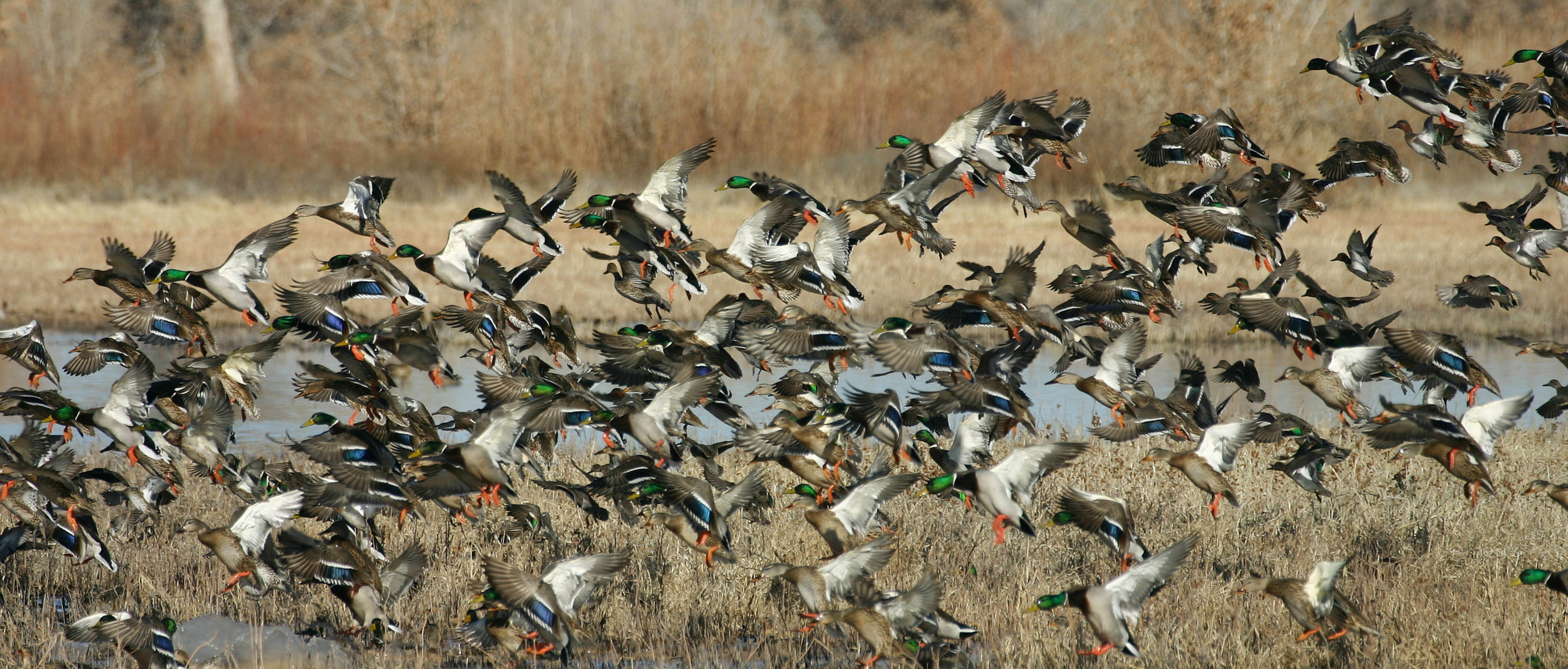 Colorado waterfowl at its finest with the huge flight of ducks